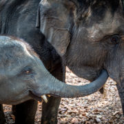 The Asian Elephant is dying from malnourishment due to COVID-19