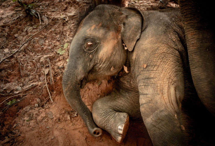 Donating money to a great cause can save an elephant today!